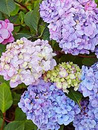 Flowering Shrubs That Like Full Sun - the 13 best summer blooming shrubs for your garden