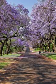 Pom Trees 161 Best Ornamental Trees Flowering Trees Images On Pinterest