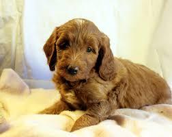 australian shepherd labradoodle labradoodles dog breeders california puppysites com