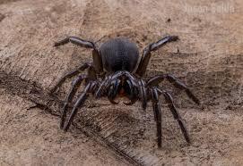 northern tree funnel web spider hadronyche formidabilis flickr