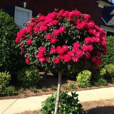 the 25 best fast growing shrubs ideas on fast growing