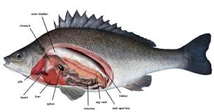 Heart External Anatomy Catfish Internal Anatomy Choice Image Learn Human Anatomy Image