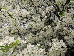 trees with white flowers white pear tree flowers blooming trees free nature