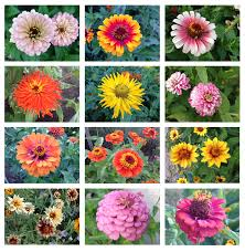 zinnia flower photo of the day zinnia floral diversity lot lines