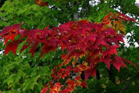autumn u0027s colourful display u2013 why do tree leaves change in the fall