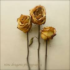 dried roses yellow roses dried roses print print country
