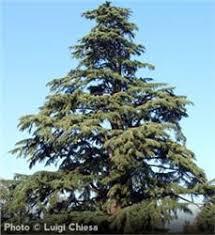 deodar cedar tree on the tree guide at arborday org