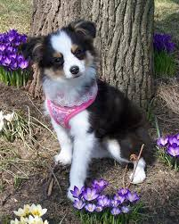 australian shepherd water toy mini australian shepherd pup