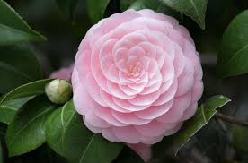 native japanese plants plants that may be toxic to mini pigs mini pig info