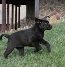 caring labrador puppy ashling place labradors