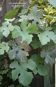 photo of the leaves of ornamental grape vitis vinifera purpurea