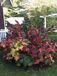 oak leaf hydrangea great flowering shrub that also has beautiful