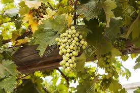 a cluster of green grapes hang from vines on a wood trellis in