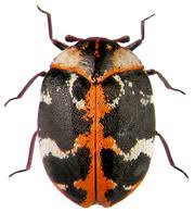 Rug Bugs Carpet Beetles How To Kill And Get Rid Of Carpet Beetles