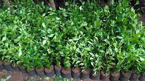 Teh Tehan taman murah123 jual tanaman hias untuk pagar jual tanaman teh