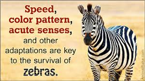 interesting facts zebras