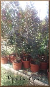 arbuste feuillage pourpre persistant arbustes caducs et persistants