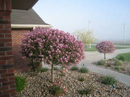 i already have two really large lilac bushes but i think i need a