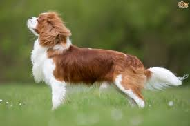how to groom a belgian sheepdog cavalier king charles spaniel dog breed information buying advice