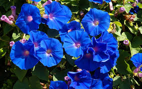 10 list of blue flowers names free wallpapers hdflowerwallpaper com