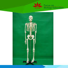 Halloween Skeletons Life Size by List Manufacturers Of Human Skeleton Life Size Buy Human Skeleton