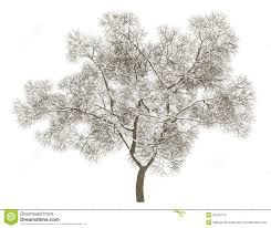 White Oak Tree Drawing Winter English Oak Tree Isolated On White Stock Photo Image