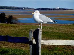 Nauset Marsh Cape Cod - posing seagull at nauset marsh on the national seashore on cape