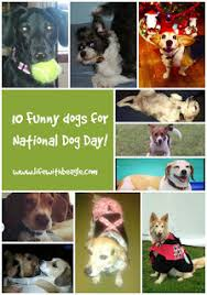 australian shepherd 2015 nationals life with beagle 10 silly dogs for national dog day