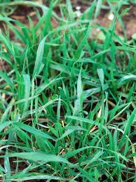 planting winter rye hgtv