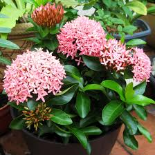 light up your garden with ixora also known as flame of woods