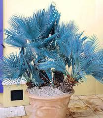 Tropische Pflanzen Im Garten Palmen Günstig Online Kaufen Mein Schöner Garten Shop