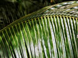 palm for palm sunday palm sunday king for a day ignatian solidarity network