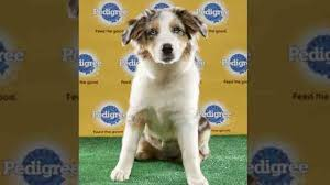 australian shepherd sims 3 middle tennessee pup takes on puppy bowl newschannel 5 nashville