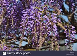 wisteria sinensis australian bush flower wisteria sp stock photos u0026 wisteria sp stock images alamy