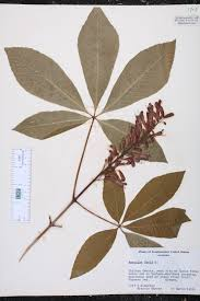 sci club pavia aesculus pavia species page isb atlas of florida plants