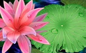 best lotus flower wallpaper high quality nature 2560x1600