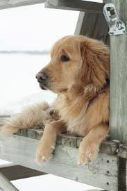 best 25 golden retriever names ideas on pinterest cute