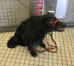 belgian sheepdog border collie mix double damp dog bathursday casey the border collie mix and rex