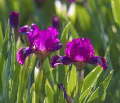 iris flowers iris plants tips for growing iris