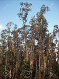 Eucalyptus Trees Forest Landscape Of Eucalyptus Trees Stock Photo Picture And