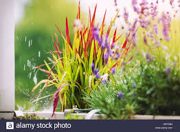 japanese ornamental grass quot baron quot in the stock