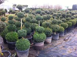 Evergreen Landscaping Ideas Boxwood Topiaries Evergreens Dirt Simple Garden Trends