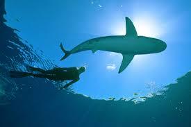 ocean ramsey u2013 swimming with sharks