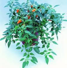 seedman s pepper seed supply