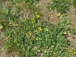 Identify Flowers - yellow field flowers identify that plant