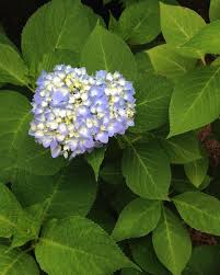 flower hydrangea how to change hydrangea flower color hgtv