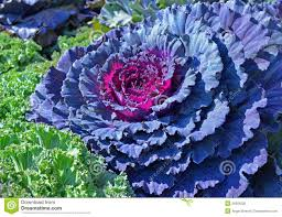 ornamental cabbage royalty free stock photo image 26580205