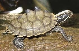 map turtle freshmarine com southern black knobbed map turtle graptemys