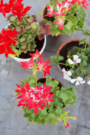 geranium the joy of plants