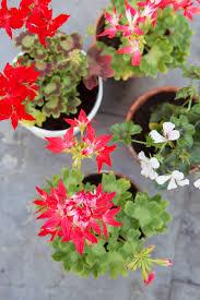 Geranium by Geranium The Joy Of Plants